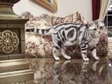 Фото. Американская короткошерстная кошка