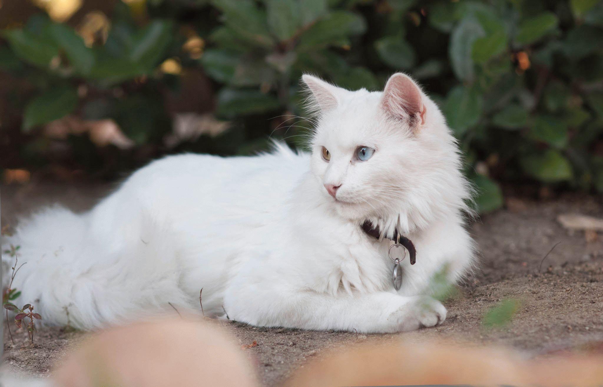 одно картинки ангорского кота светлым