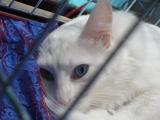 Фото ангорская кошка