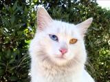 Фото. Анатолийская кошка