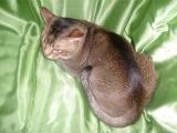 Азиатская табби, порода кошек
