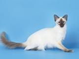 Балинезийская порода кошки