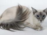 Кошка Балинез