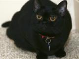 Фото - бомбейская кошка