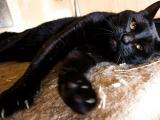 Фото - породы бомбейская кошка