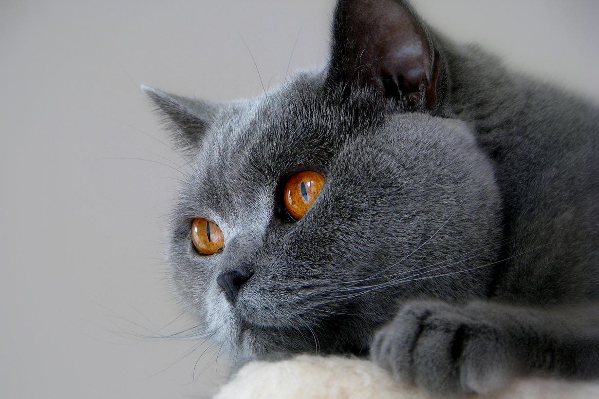 кошки фото красивые британцы указала, что