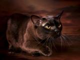 Фото бурманской породы кошек