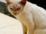 Проявление дерматомикоза у кошки