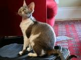 Кошка породы Девон-Рекс