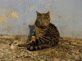 Полосатый беспородный кот