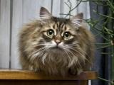Пушистая беспородная кошка