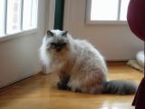 Фото гималайская порода кошек