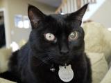 Глаукома одного глаза у черного кота