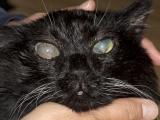 Признаки глаукомы у кошки