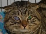 Полосатый кот с глаукомой