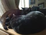 Фото породы Йоркская шоколадная кошка