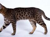 Фото. Калифорнийская сияющая кошка