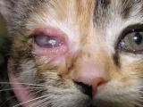 Гнойный конъюнктивит у кошек