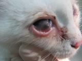 Герпесвирусным конъюнктивитом поражен кот