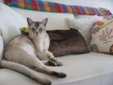 Фото кошки бурмилла