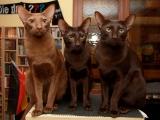Гавана порода кошек