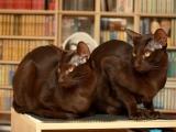 Кошка гавана фото
