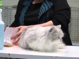 Фото. Кошка породы наполеон