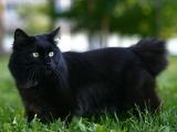 Курильский бобтейл черный