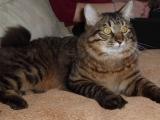 Кот породы курильский бобтейл