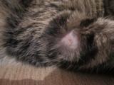Симптомы стригущего лишая у кошек