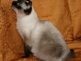 Фото породы кошеки меконгский бобтейл