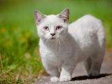 Кошка-такса