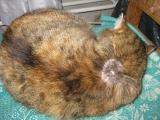 Очаг микроспории на спине у кошки