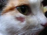 Микроспория у кошки на морде
