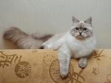 Фото. Невская маскарадная порода кошек