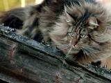 Норвежская лесная порода кошки