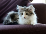 Котенок породы норвежская лесная кошка