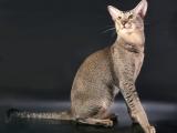 Кошки ориентальной породы фото