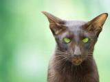 Ориентальная порода кошек