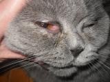 Паренхиматозный конъюнктивит у кошек