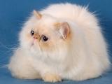 Фото персидской породы кошки