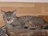Фото кошки породы Пиксибоб