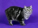Фото кошки кимрик