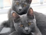 Кошка и котенок корат