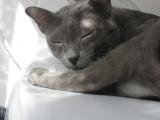Кошка породы корат фото