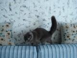 Фотография кошки корат