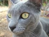 Фото кота породы корат