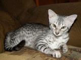 Фото египетской кошки Мау