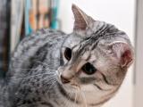 Порода египетской кошки Мау