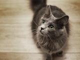 Кошка породы нибелунг фото